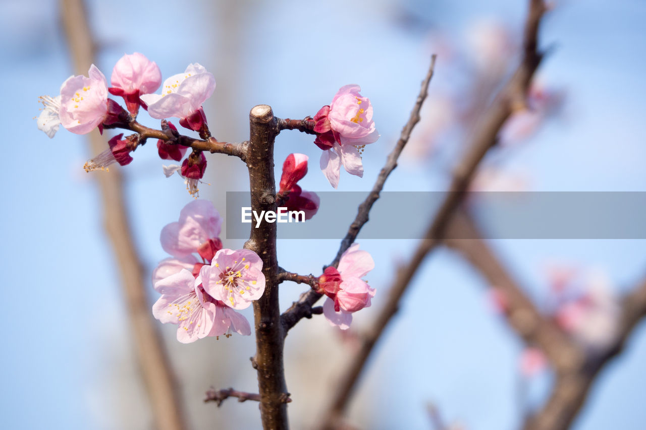 flower, fragility, springtime, growth, blossom, pink color, beauty in nature, freshness, nature, tree, branch, day, plum blossom, twig, close-up, no people, petal, flower head, outdoors