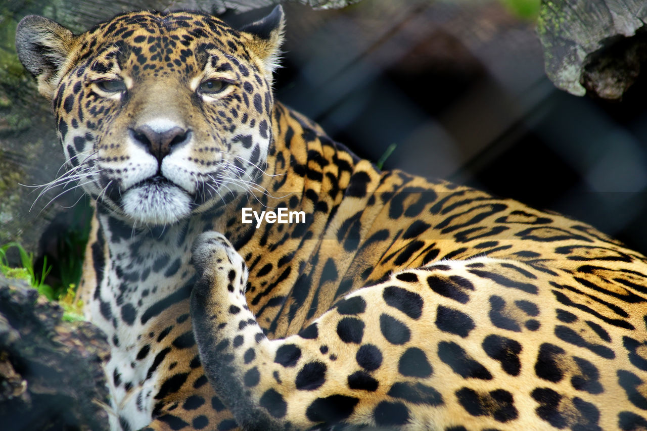 one animal, animals in the wild, animal themes, leopard, mammal, animal wildlife, day, animal markings, focus on foreground, no people, safari animals, feline, outdoors, close-up, nature