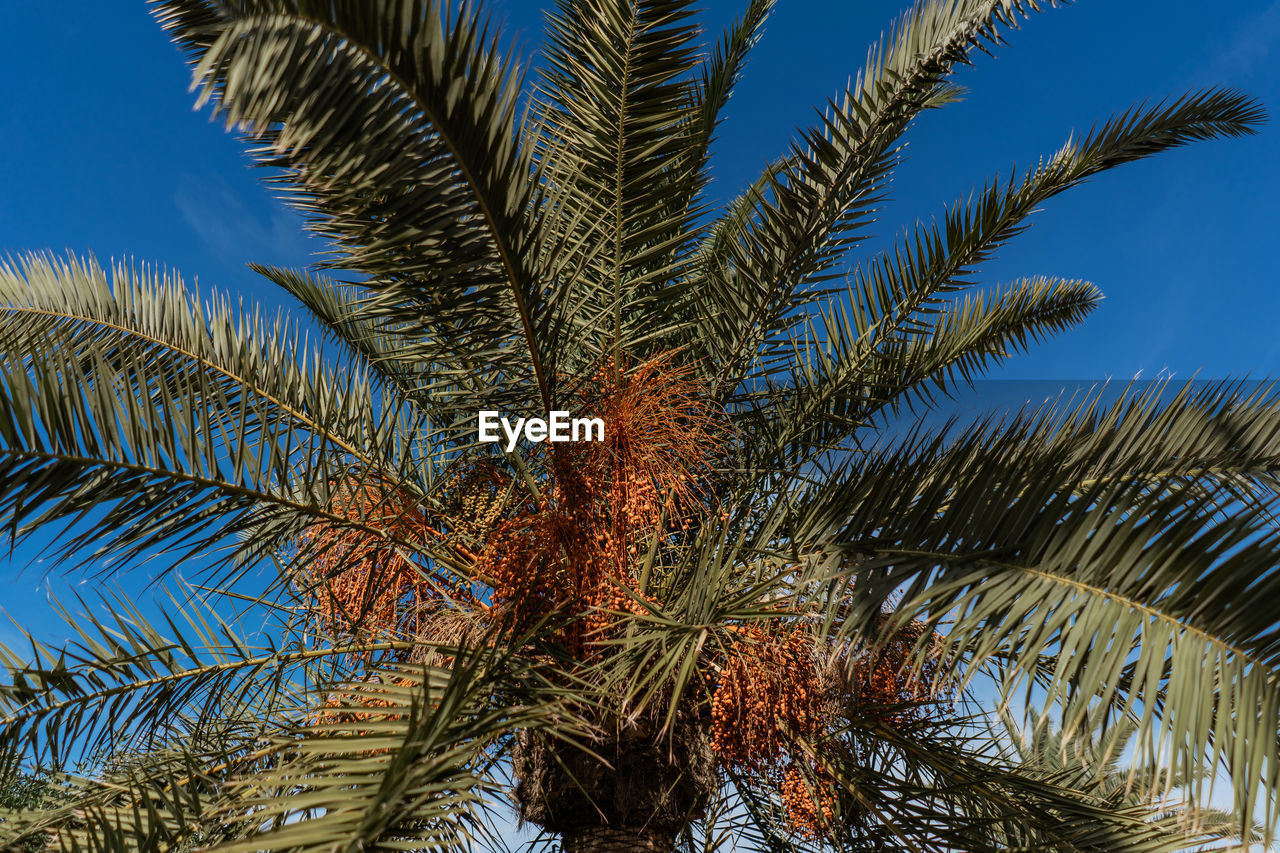 palm tree, tropical climate, tree, plant, growth, sky, low angle view, palm leaf, date palm tree, beauty in nature, nature, no people, leaf, day, tranquility, outdoors, trunk, tree trunk, tropical tree, green color, coconut palm tree