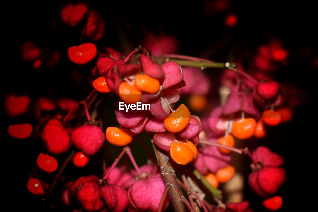 fruit, food and drink, focus on foreground, close-up, red, growth, freshness, rowanberry, outdoors, tree, no people, nature, food, beauty in nature, day