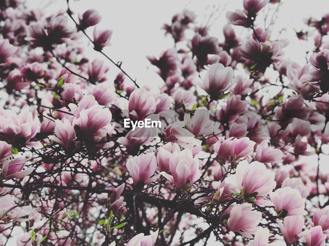 flower, pink color, blossom, tree, fragility, beauty in nature, springtime, nature, magnolia, growth, branch, freshness, no people, pink, petal, low angle view, close-up, day, outdoors, blooming, flower head