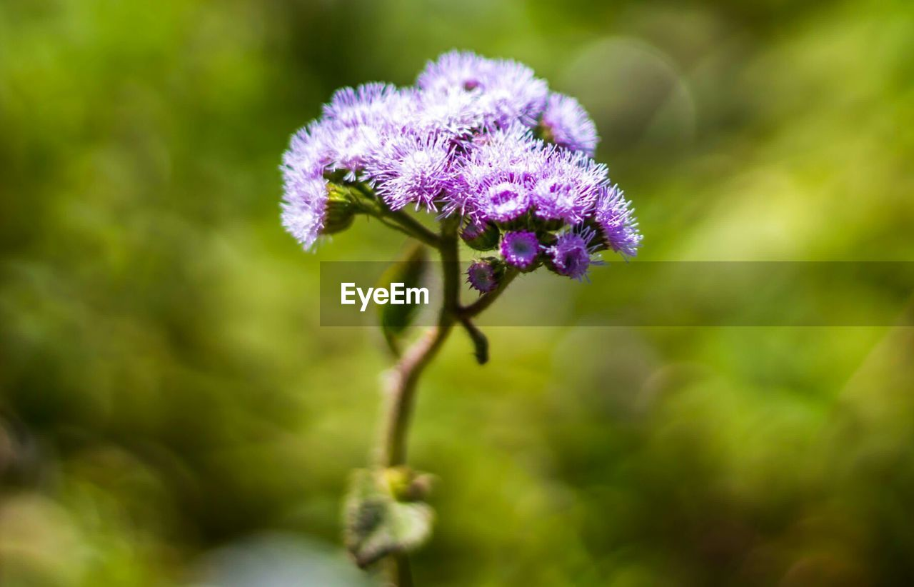 flower, growth, nature, purple, plant, fragility, beauty in nature, day, outdoors, close-up, no people, focus on foreground, freshness