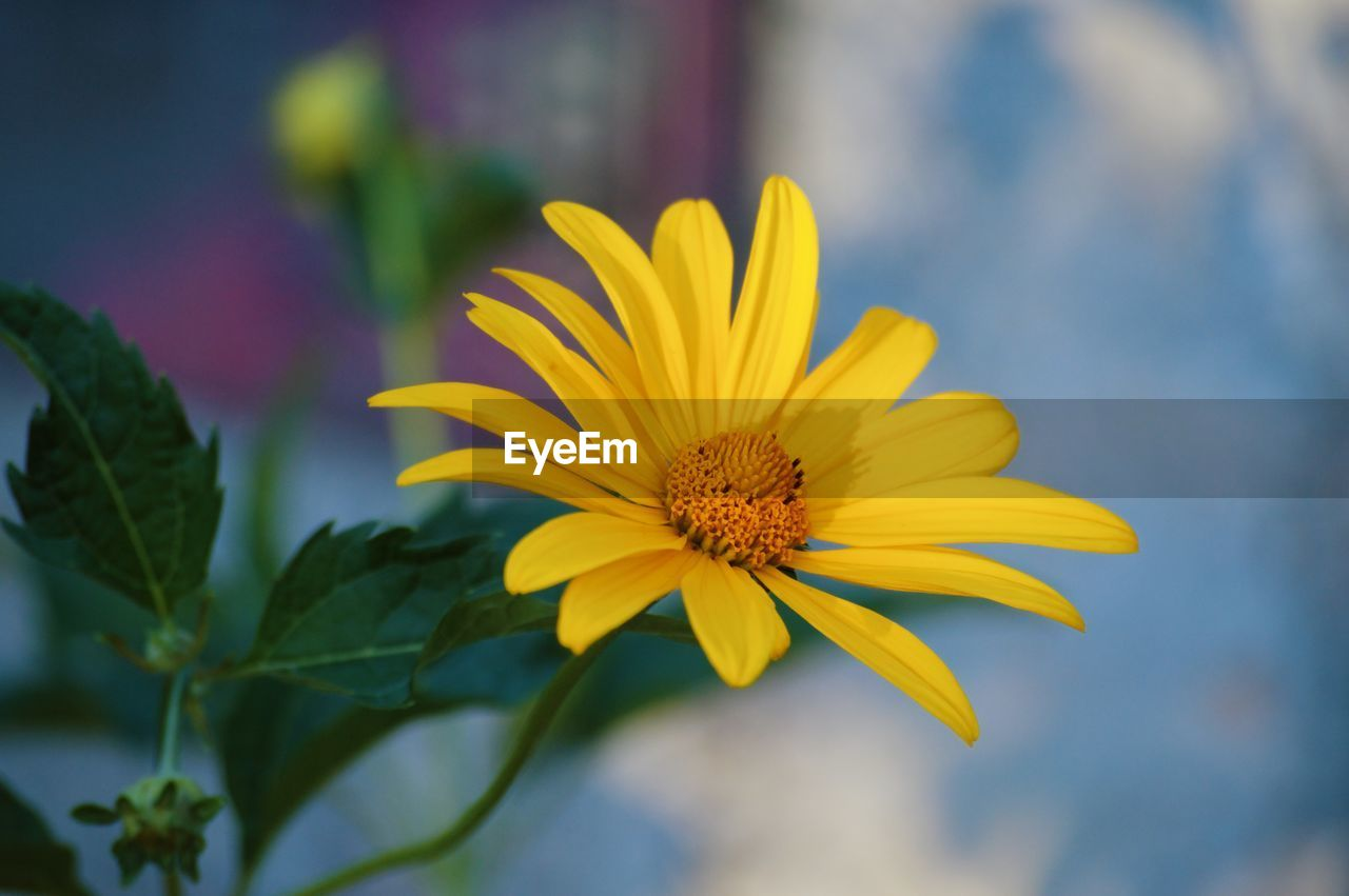 flowering plant, flower, fragility, vulnerability, freshness, beauty in nature, petal, yellow, plant, flower head, growth, inflorescence, close-up, focus on foreground, pollen, day, nature, leaf, no people, outdoors, gazania