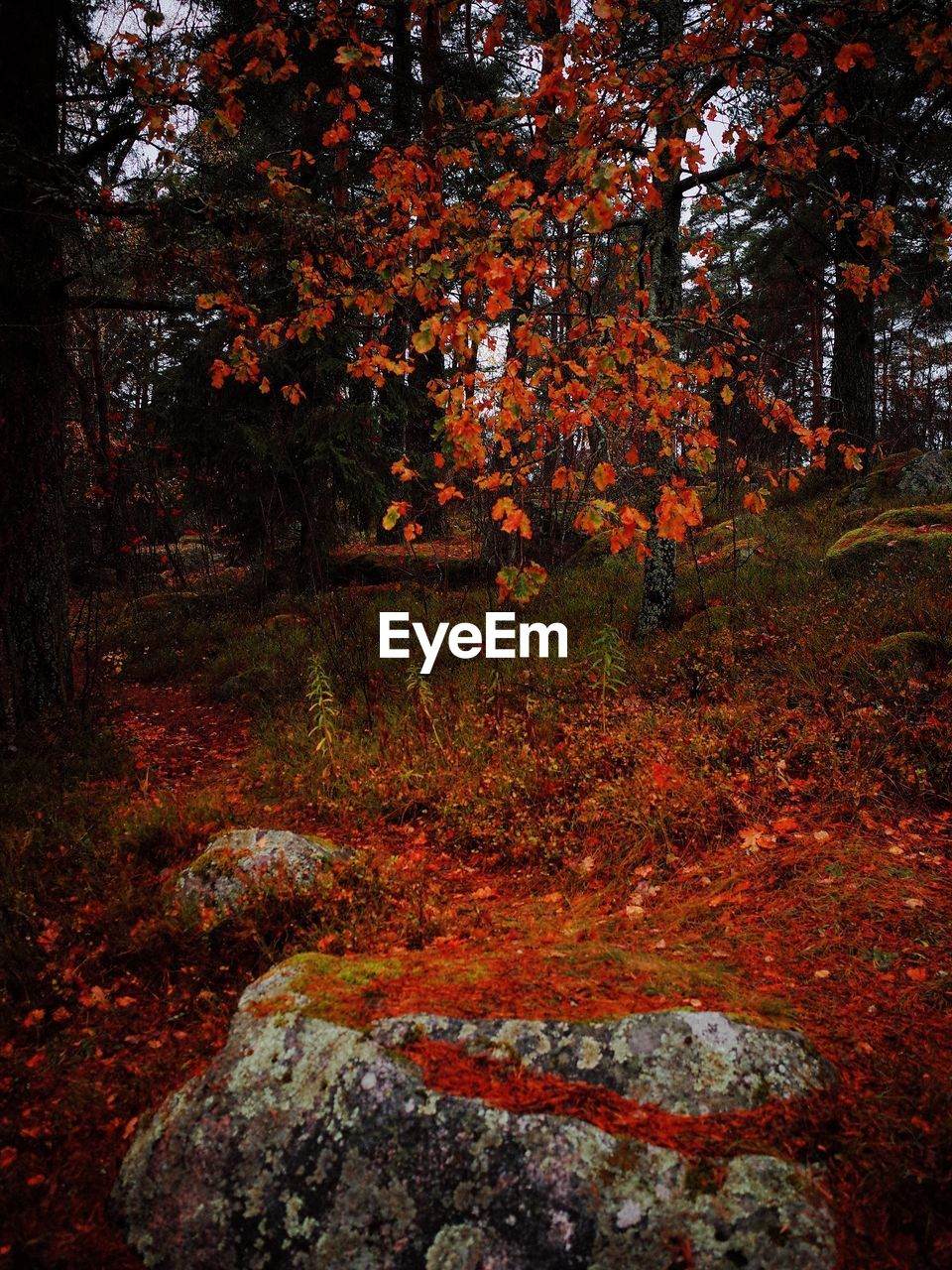 tree, autumn, plant, forest, nature, land, change, tranquility, beauty in nature, leaf, no people, plant part, outdoors, scenics - nature, day, orange color, tranquil scene, growth, landscape, woodland