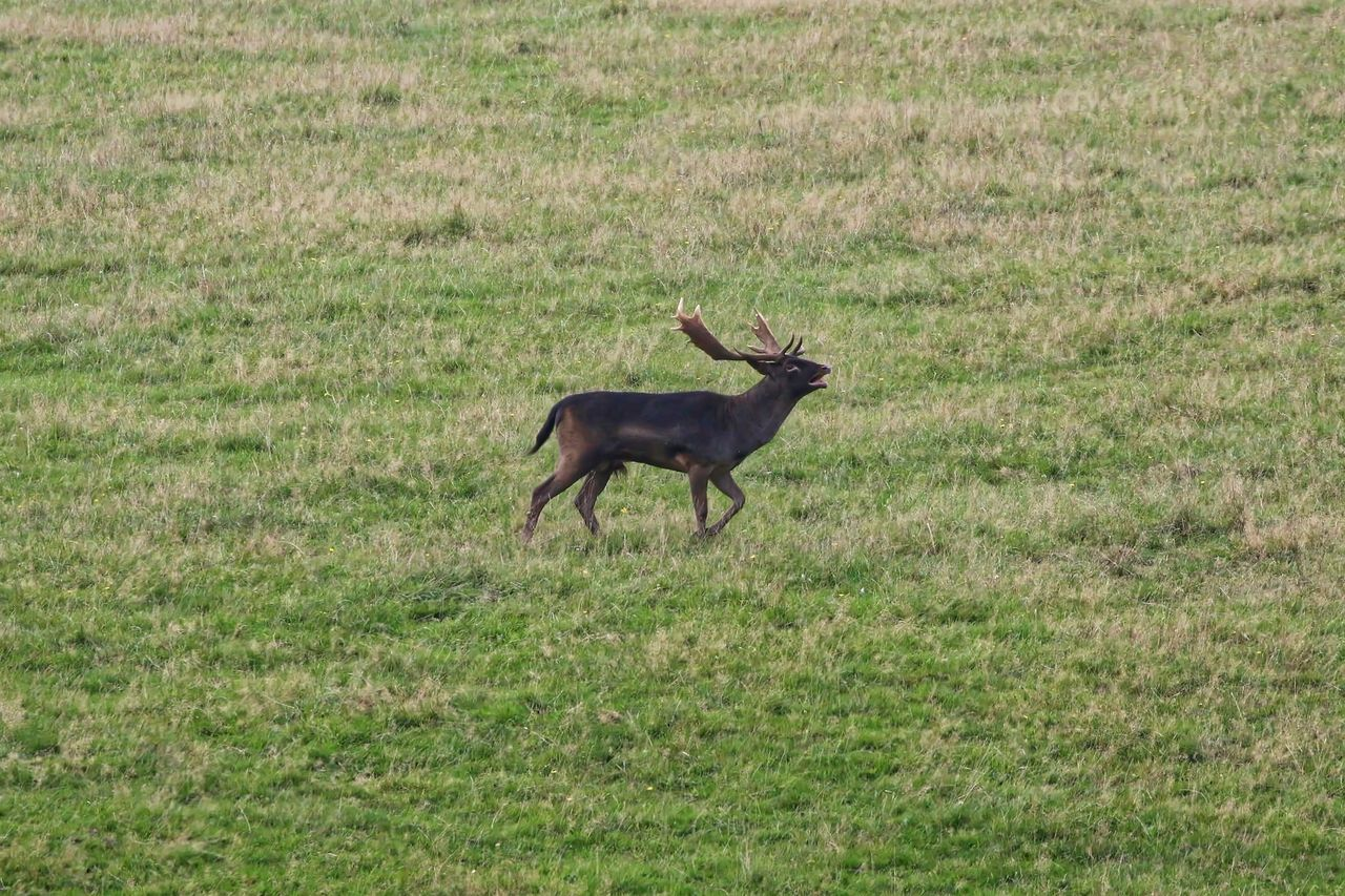Side view of fallow deer running on grassy field