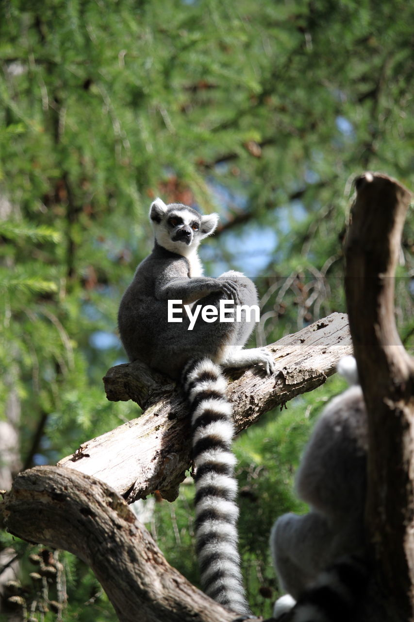 tree, animal themes, animal, animals in the wild, plant, animal wildlife, mammal, branch, nature, vertebrate, one animal, day, no people, lemur, focus on foreground, sitting, outdoors, portrait, selective focus, forest