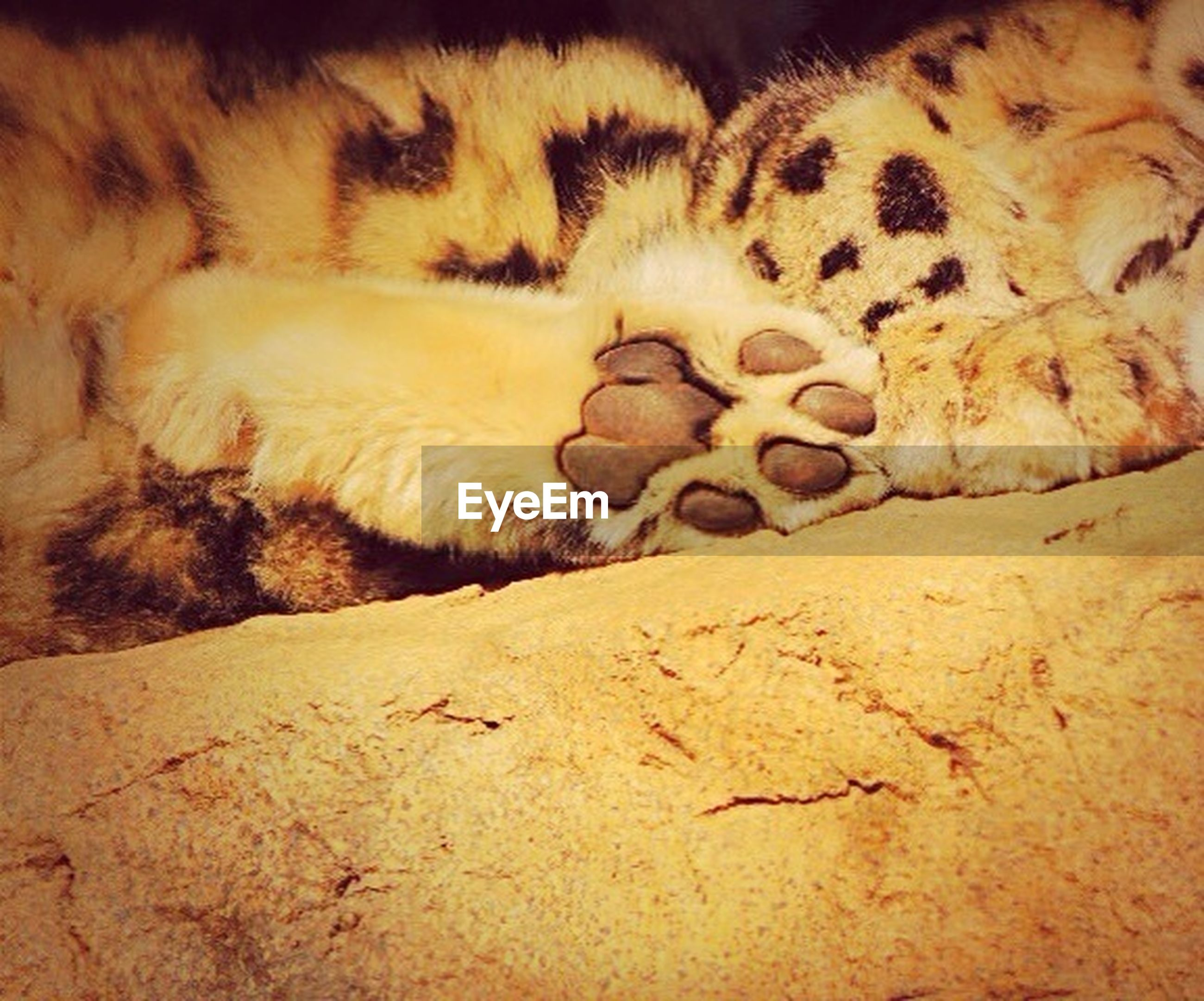 animal themes, mammal, domestic animals, one animal, pets, sleeping, sand, relaxation, no people, resting, lying down, nature, brown, indoors, day, high angle view, sunlight, rock - object, desert