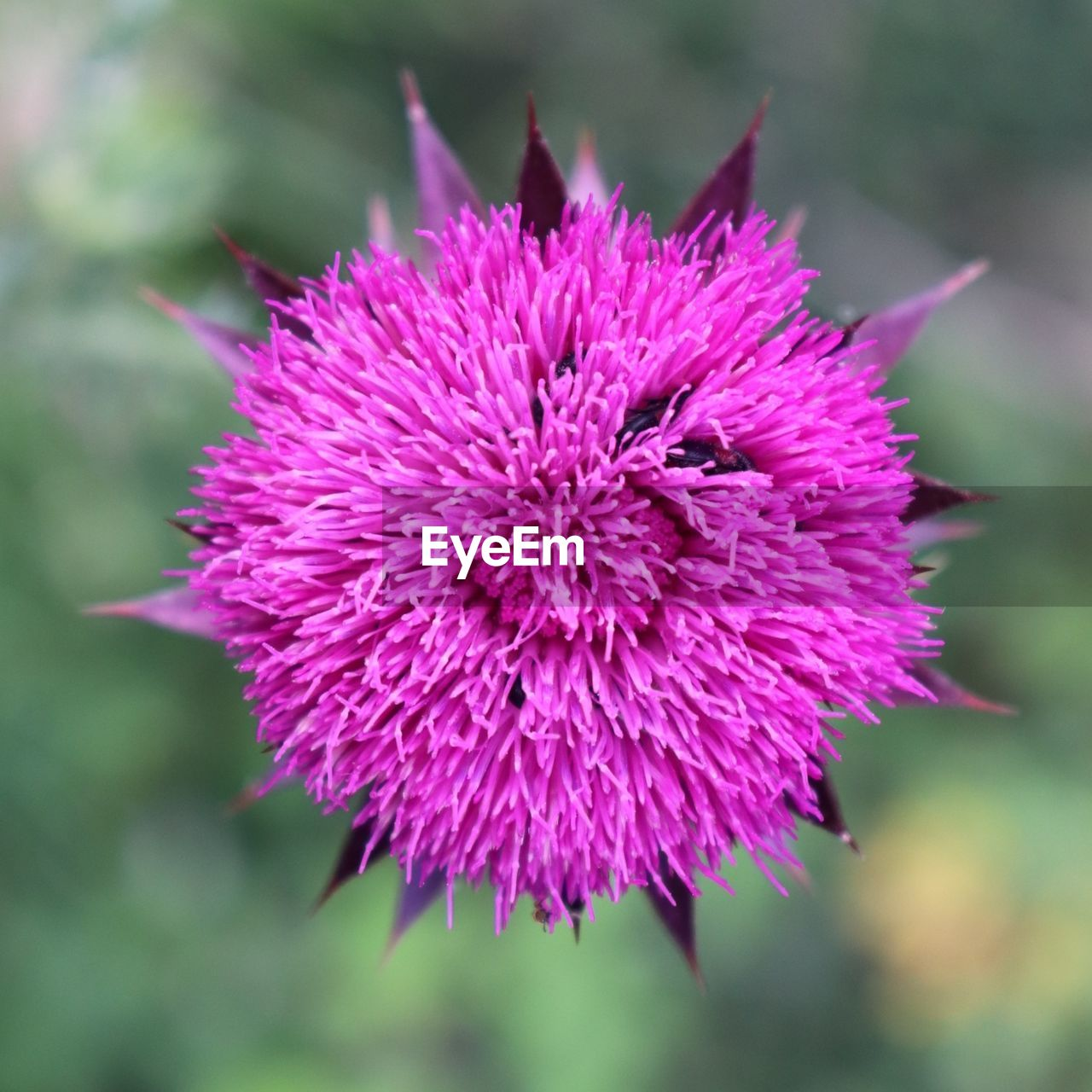 flowering plant, flower, vulnerability, fragility, freshness, plant, beauty in nature, close-up, flower head, petal, inflorescence, growth, focus on foreground, nature, pink color, day, no people, purple, outdoors, spiky, focus