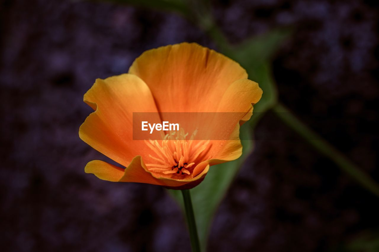flowering plant, fragility, flower, vulnerability, beauty in nature, petal, flower head, inflorescence, close-up, plant, freshness, growth, orange color, focus on foreground, nature, no people, plant stem, pollen, day, outdoors, orange