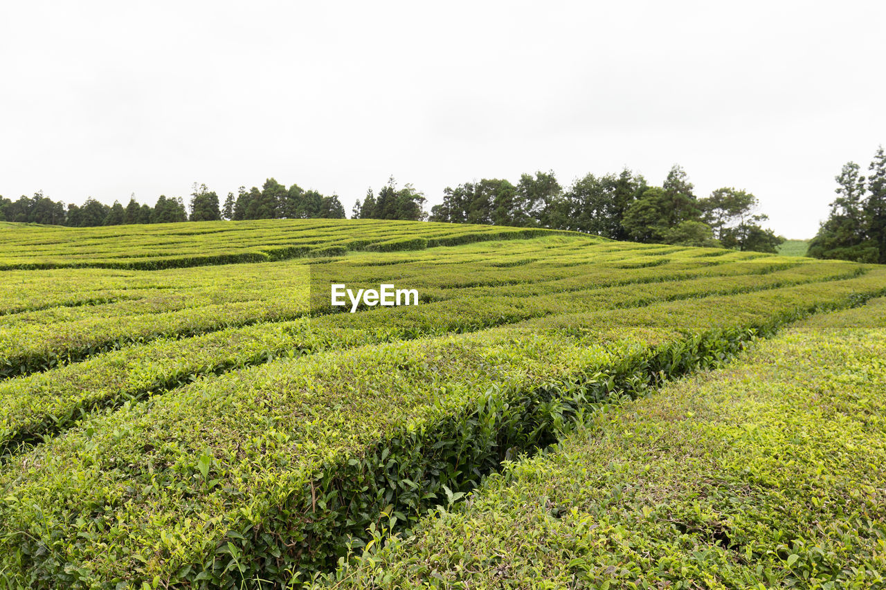 plant, green color, field, growth, land, beauty in nature, tree, scenics - nature, landscape, tranquility, tranquil scene, environment, sky, nature, agriculture, rural scene, day, no people, crop, clear sky, tea crop, outdoors, plantation, tea leaves