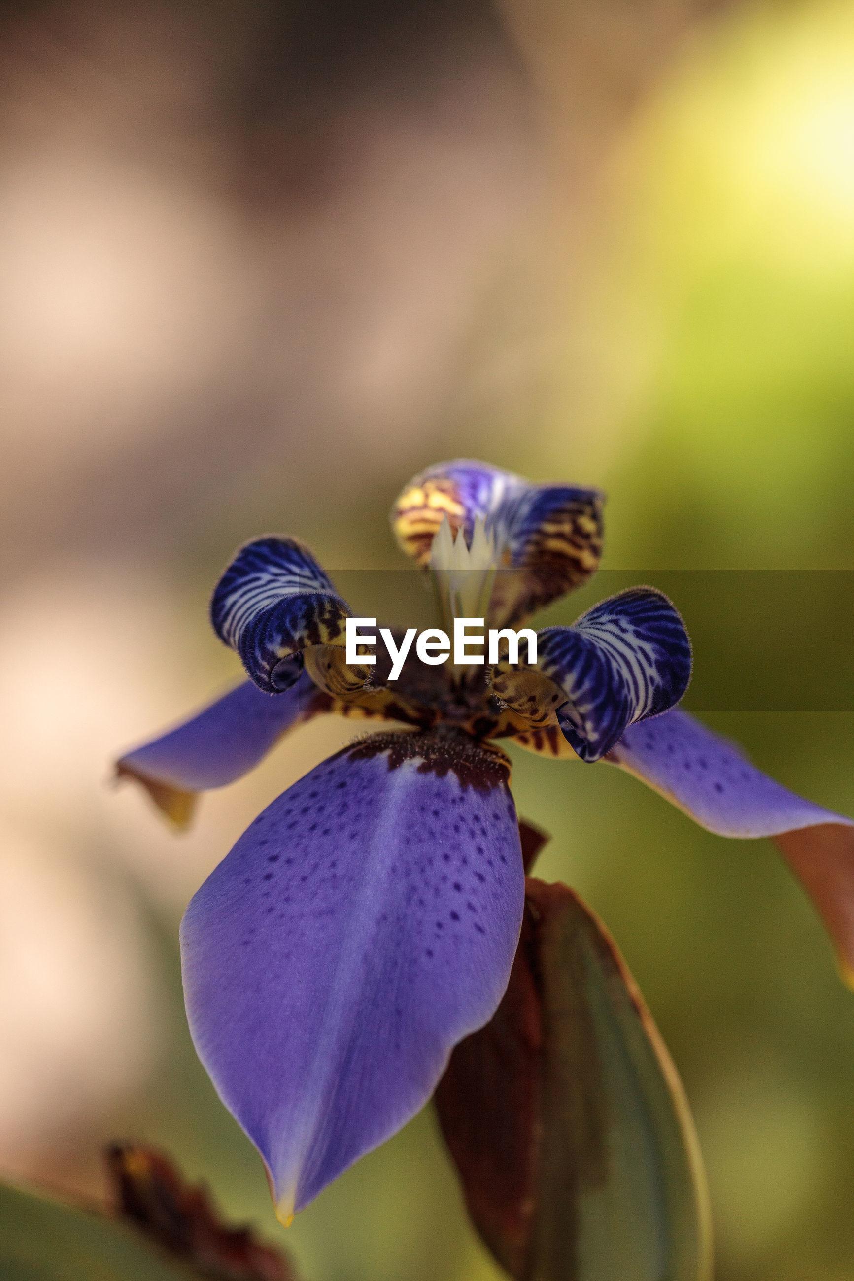 CLOSE-UP OF PURPLE IRIS FLOWERS ON PLANT