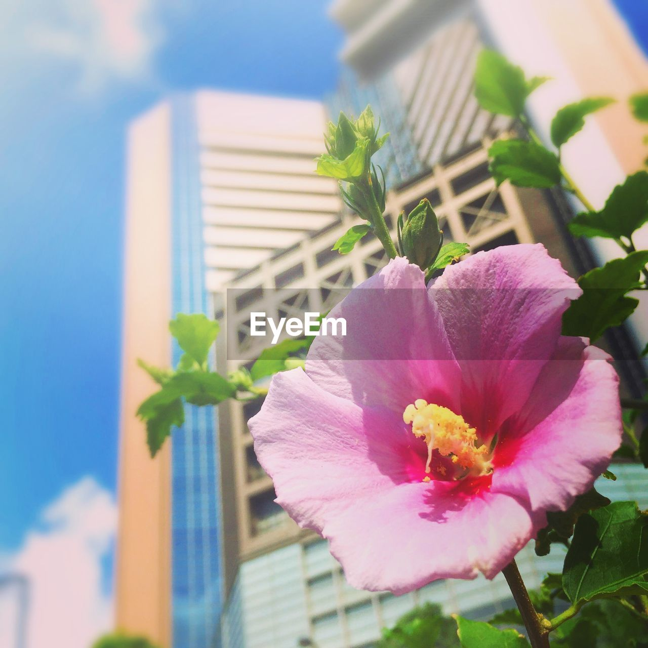 flower, petal, pink color, beauty in nature, nature, no people, flower head, plant, fragility, freshness, leaf, close-up, day, hibiscus, outdoors, sky