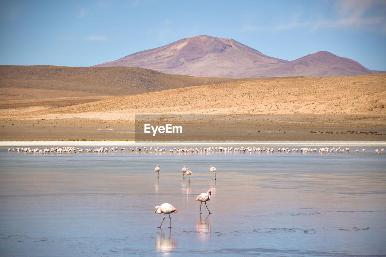 Flamingos walking through shallow lake on bolivian altiplano