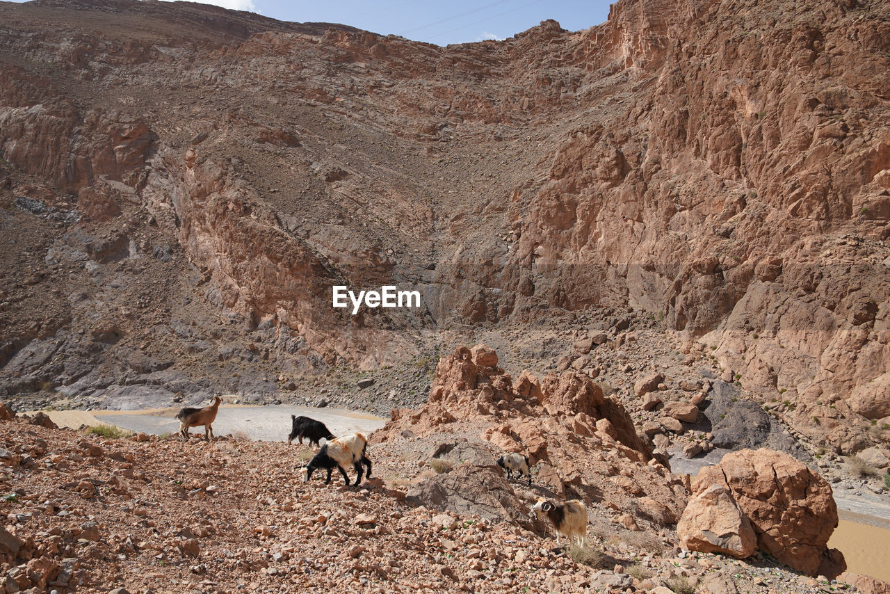 mammal, animal themes, animal, rock, domestic animals, mountain, one animal, rock - object, solid, vertebrate, nature, domestic, land, rock formation, day, mountain range, pets, livestock, environment, scenics - nature, no people, formation, outdoors, herbivorous, arid climate