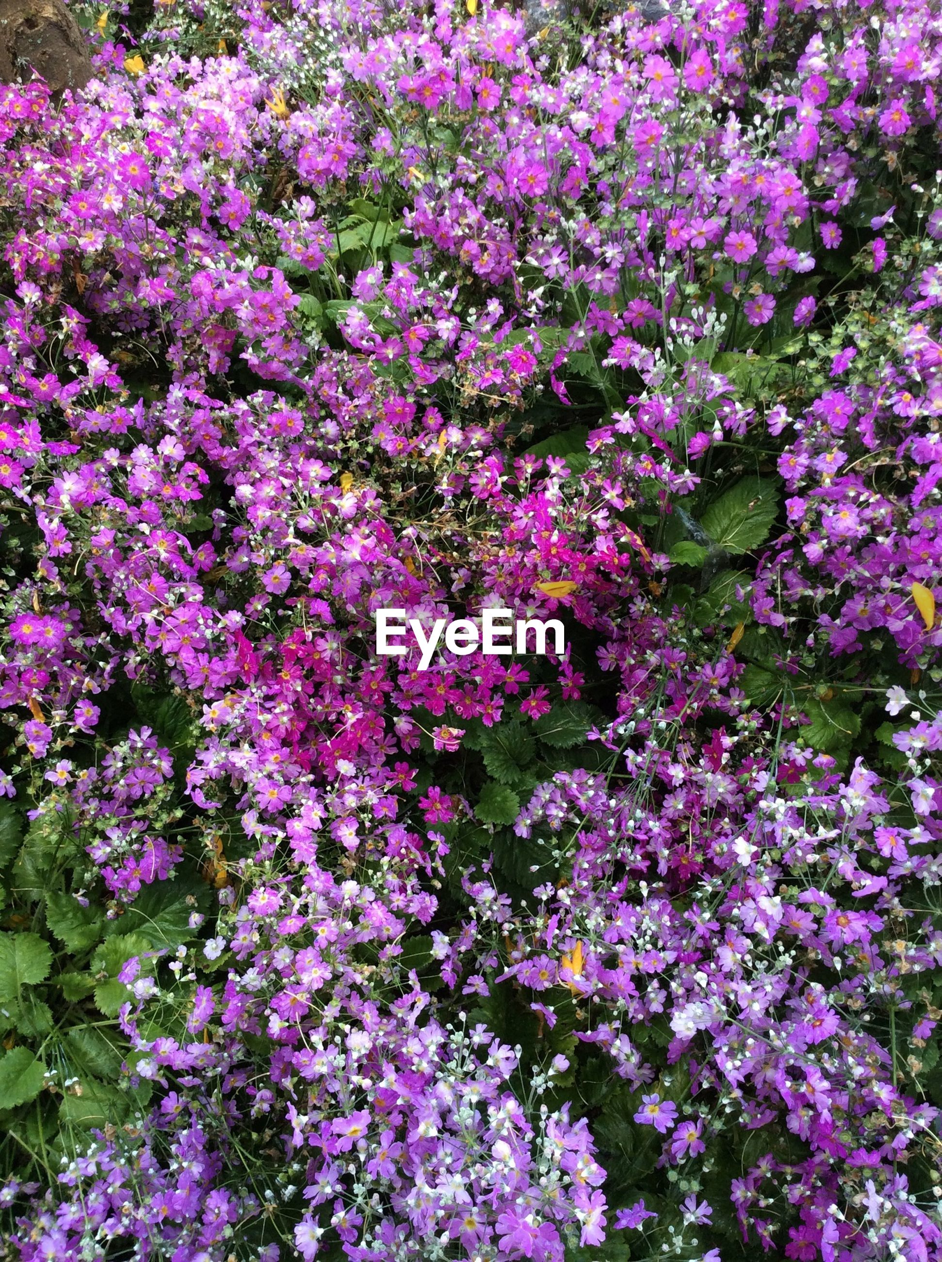 flower, freshness, growth, fragility, beauty in nature, petal, purple, nature, pink color, blooming, full frame, plant, abundance, backgrounds, high angle view, flower head, in bloom, park - man made space, blossom, outdoors