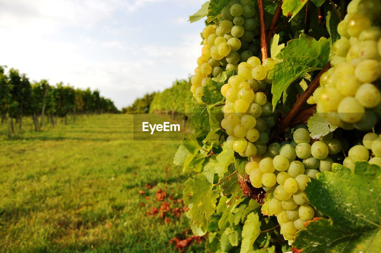 Close-up of grapes in vineyard
