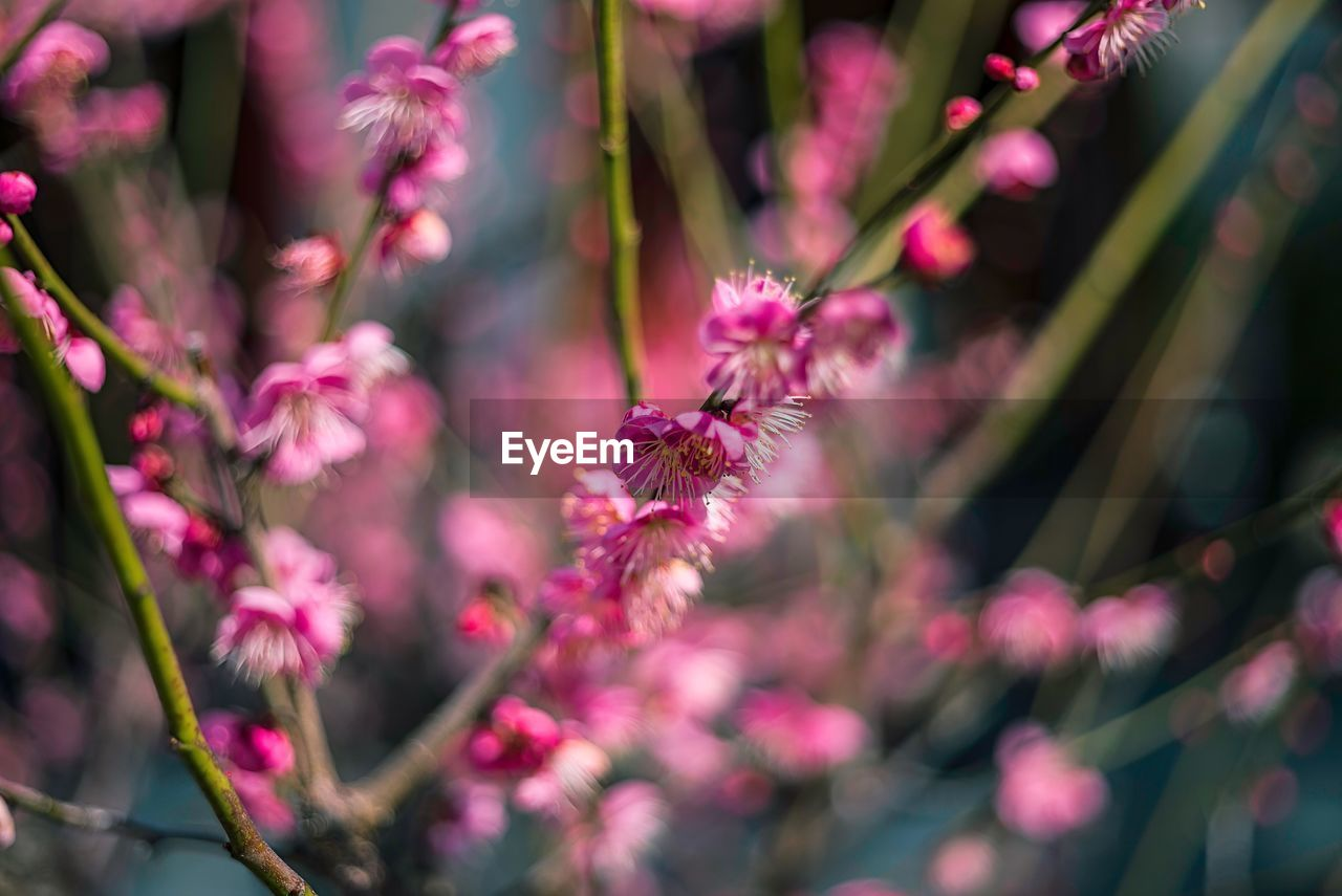 flower, flowering plant, plant, beauty in nature, pink color, growth, vulnerability, fragility, selective focus, close-up, freshness, nature, no people, day, petal, outdoors, focus on foreground, inflorescence, flower head, botany, spring