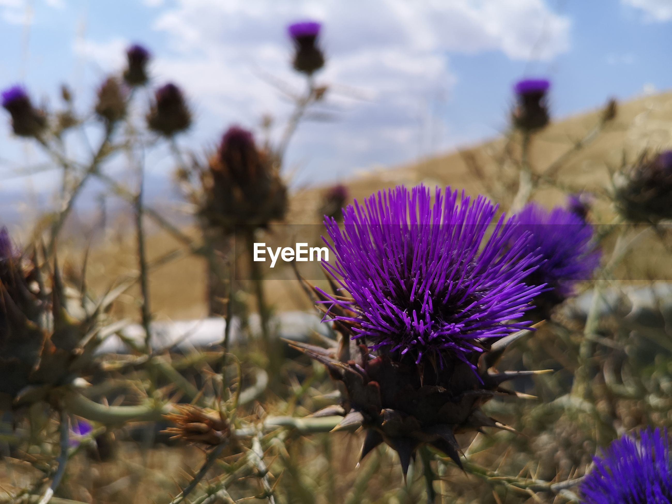 CLOSE-UP OF PURPLE THISTLE FLOWER IN FIELD