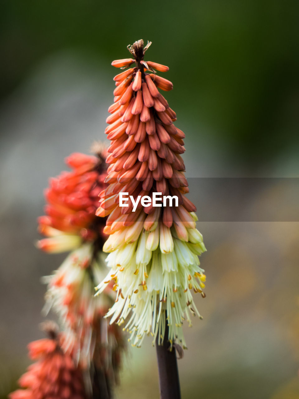 flower, plant, flowering plant, focus on foreground, close-up, beauty in nature, fragility, growth, vulnerability, freshness, nature, no people, red, day, flower head, inflorescence, petal, plant stem, outdoors, bud, springtime