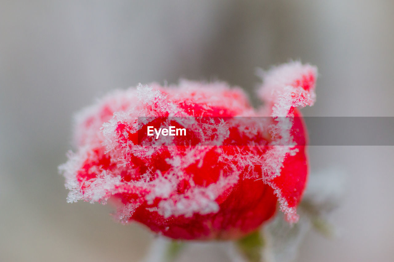 red, cold temperature, snow, winter, frozen, nature, close-up, weather, frost, focus on foreground, beauty in nature, ice, day, fruit, freshness, no people, outdoors, growth