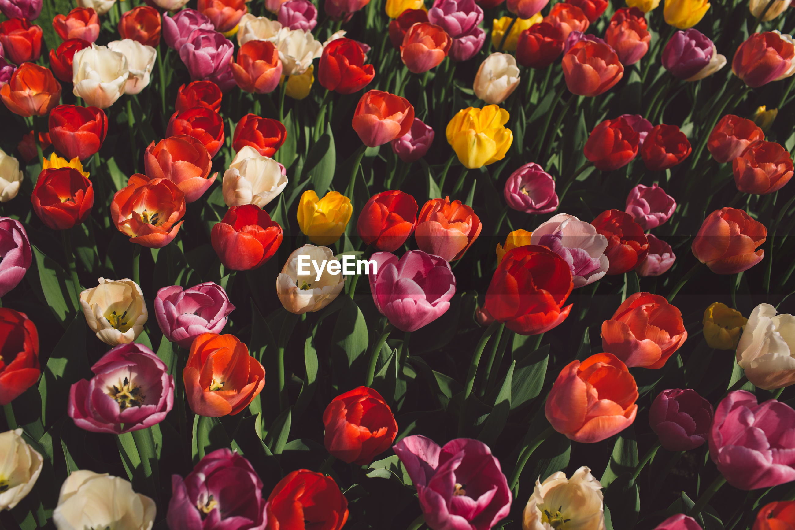 flower, flowering plant, plant, freshness, beauty in nature, petal, full frame, fragility, vulnerability, backgrounds, flower head, inflorescence, no people, close-up, multi colored, tulip, nature, high angle view, choice, abundance, outdoors, bouquet, flower arrangement, bunch of flowers