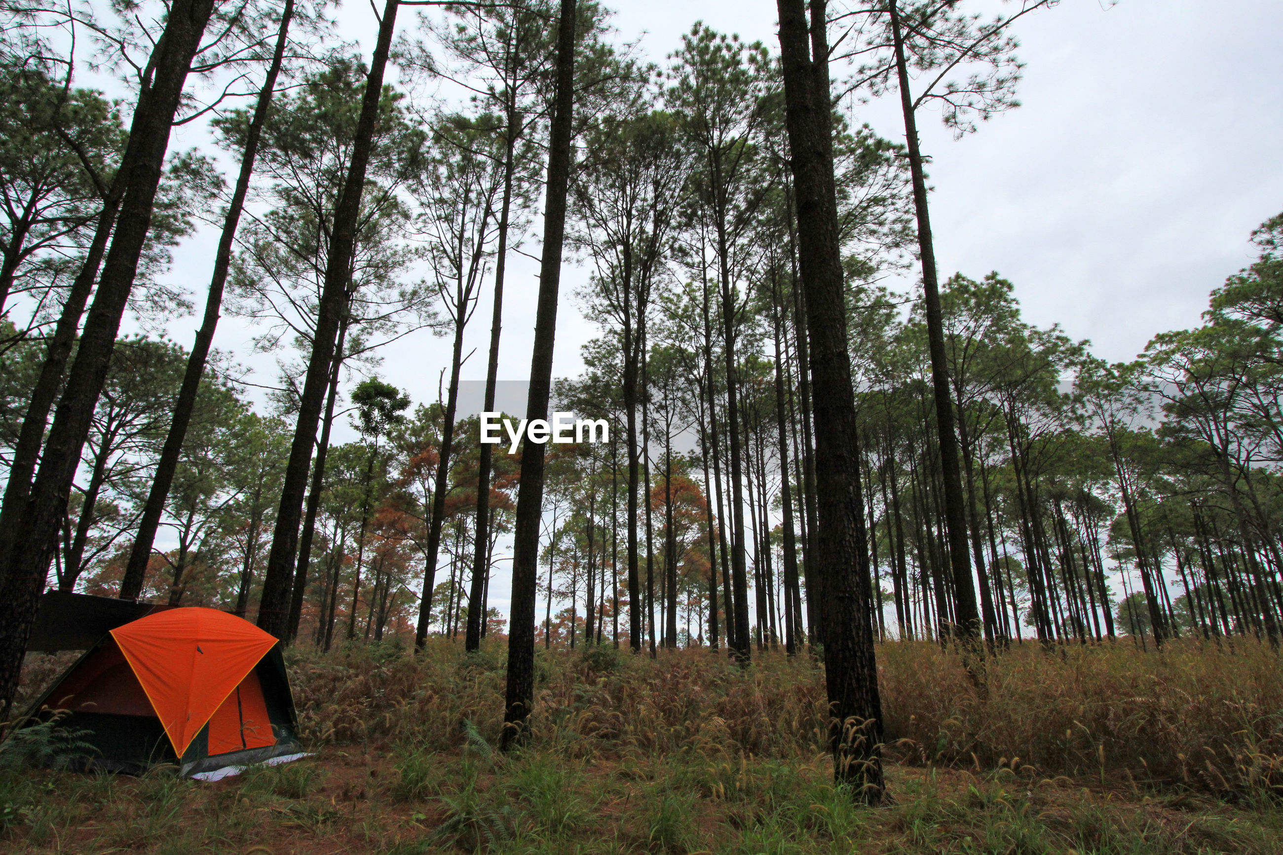 Low angle view of trees in forest against sky with camping and orange tent
