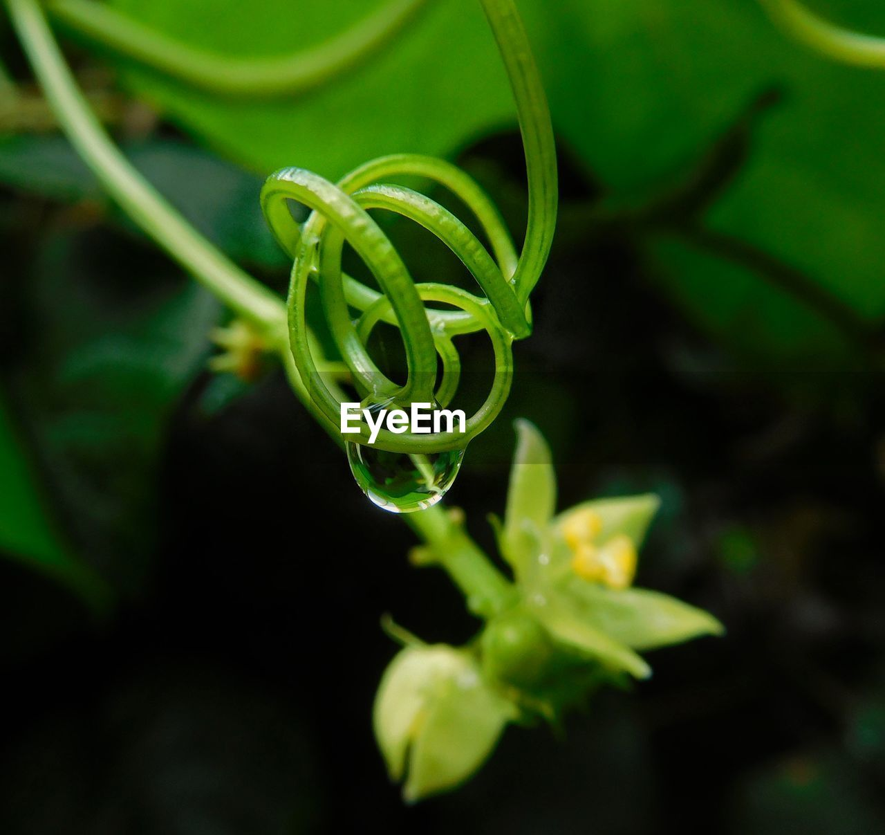 growth, plant, green color, tendril, nature, beauty in nature, no people, fragility, close-up, spiral, freshness, outdoors, day, leaf