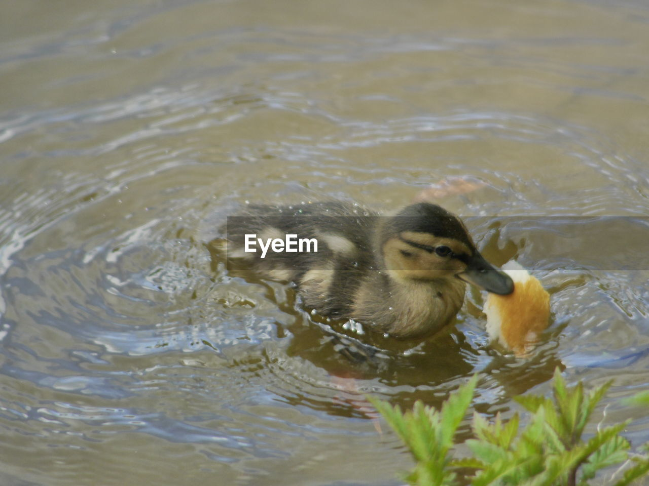 water, animal themes, animals in the wild, bird, lake, swimming, waterfront, nature, animal wildlife, no people, one animal, day, rippled, beak, outdoors, beauty in nature, close-up