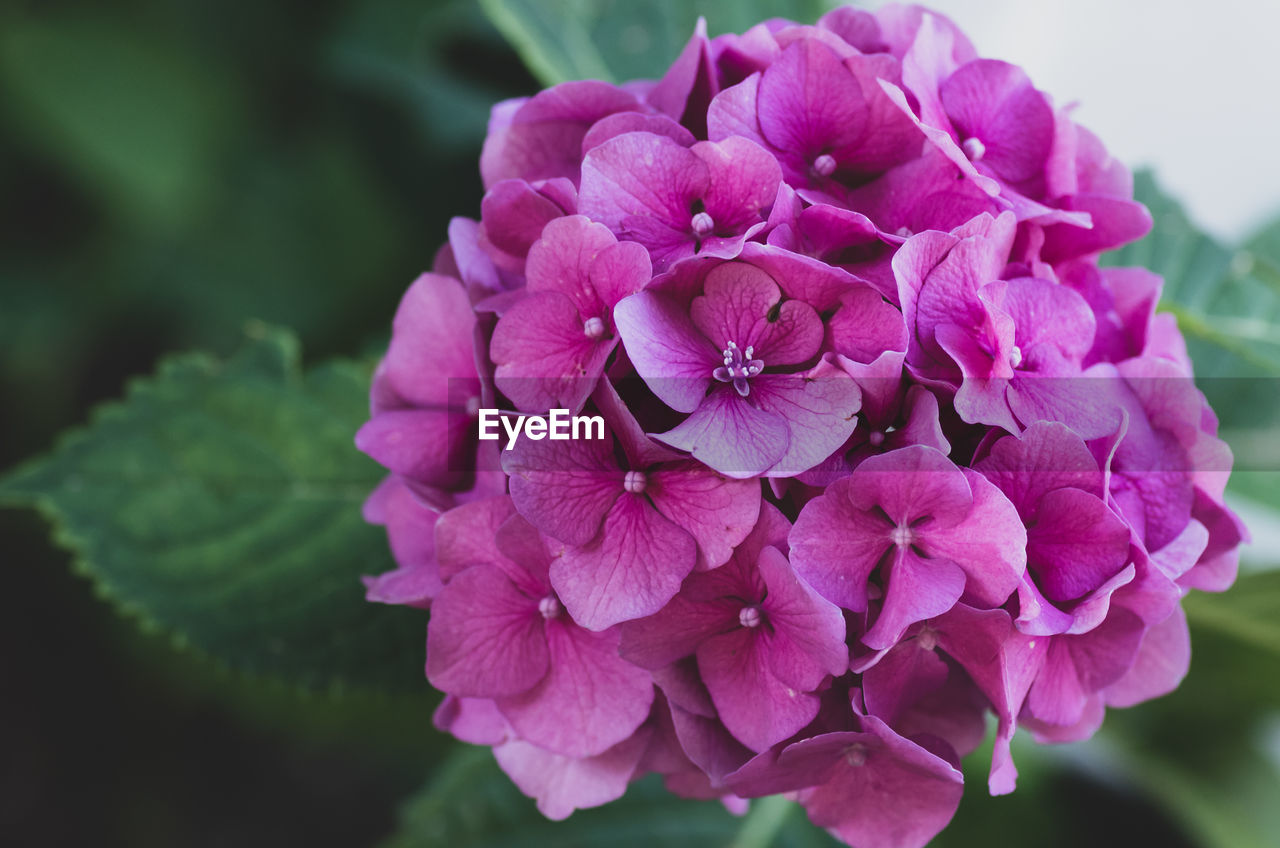 Close-Up Of Pink Hydrangea Flowers In Park