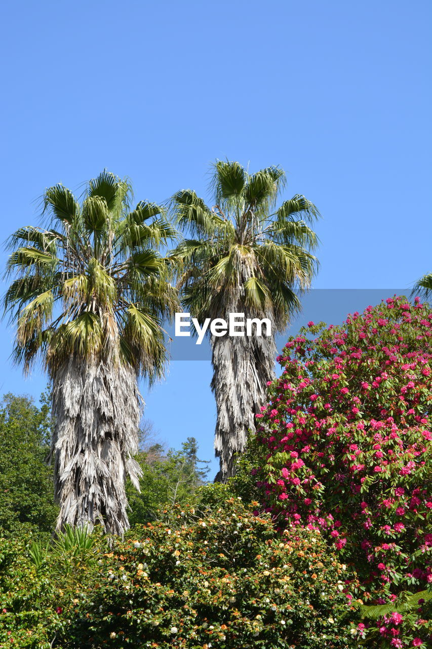 plant, sky, tree, growth, beauty in nature, tropical climate, clear sky, palm tree, nature, low angle view, blue, no people, flower, day, flowering plant, tranquility, scenics - nature, outdoors, sunlight, green color, coconut palm tree