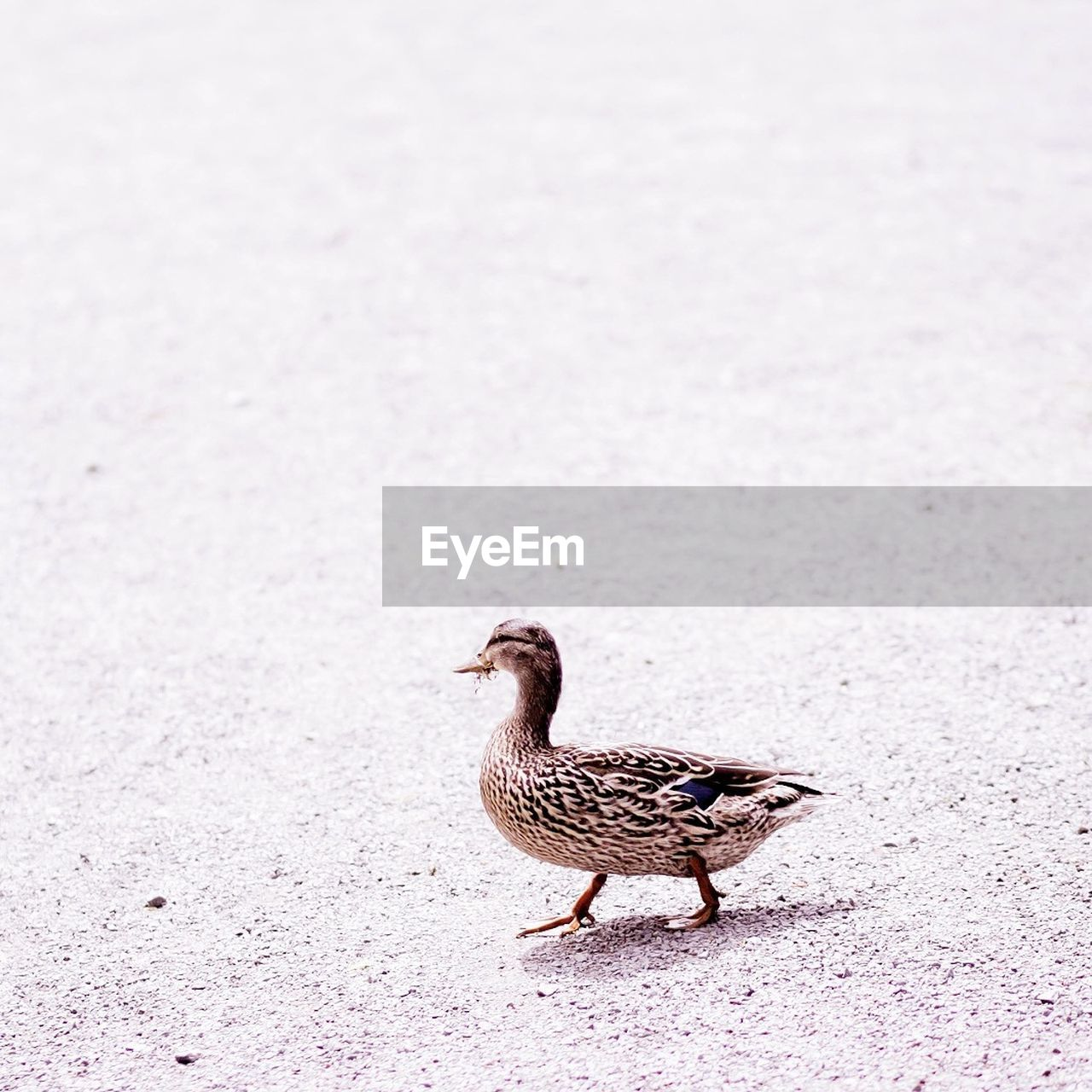 Side view of a duck on the ground