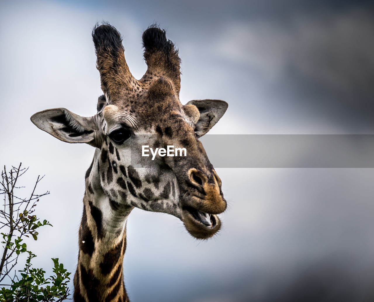 A comic headshot of a giraffe