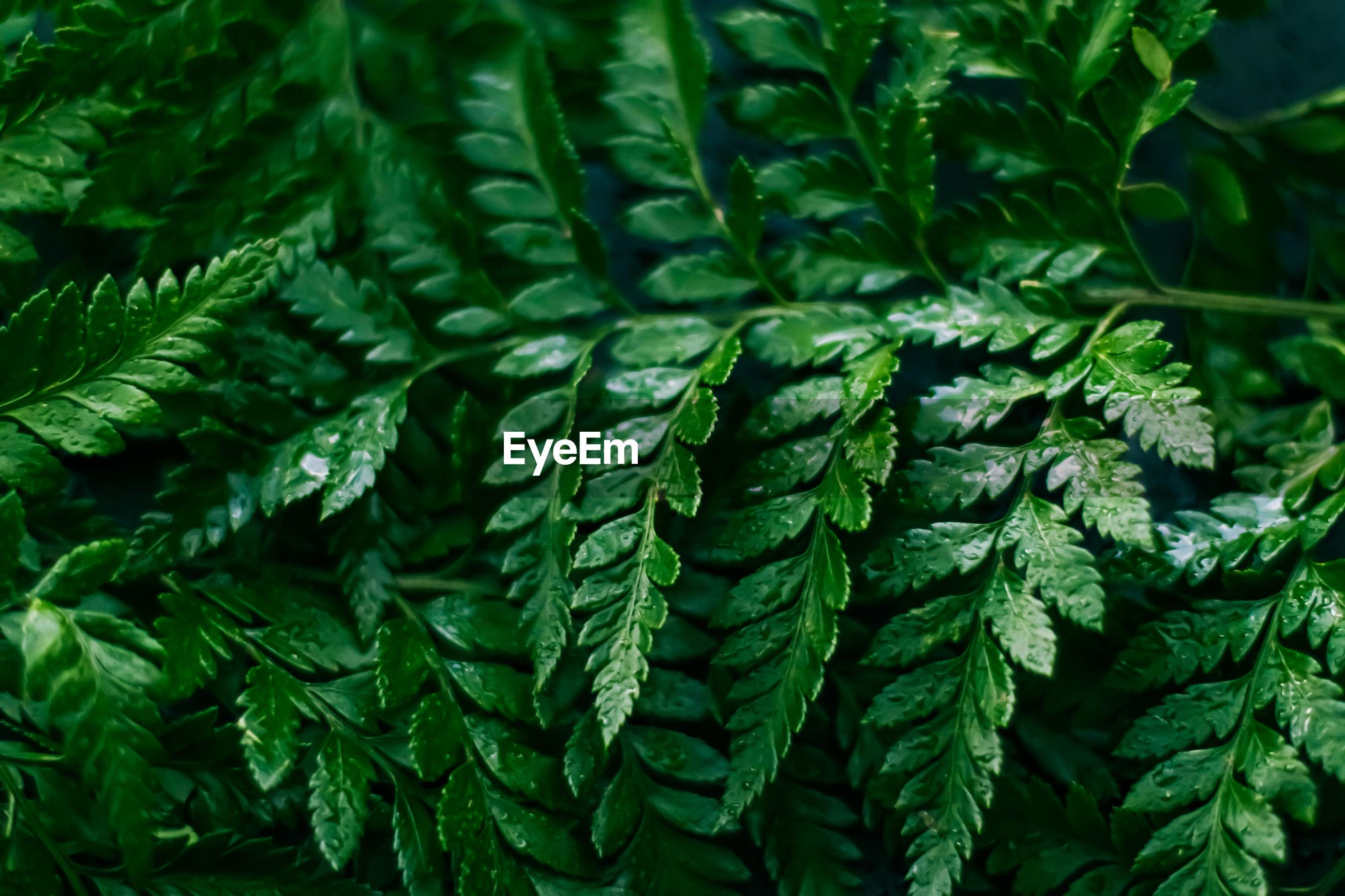 Full frame shot of wet green leaves