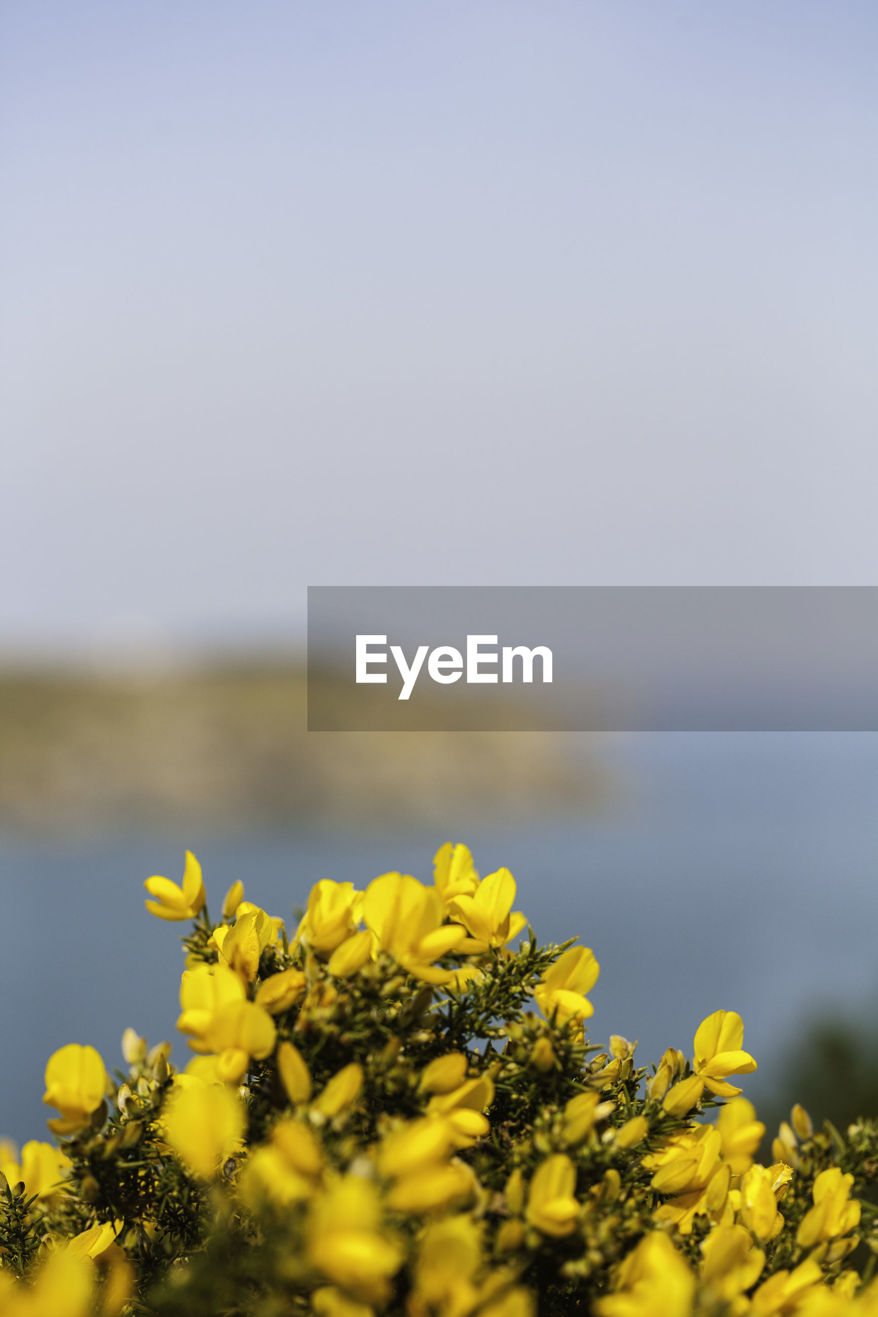 YELLOW FLOWERING PLANT AGAINST SEA