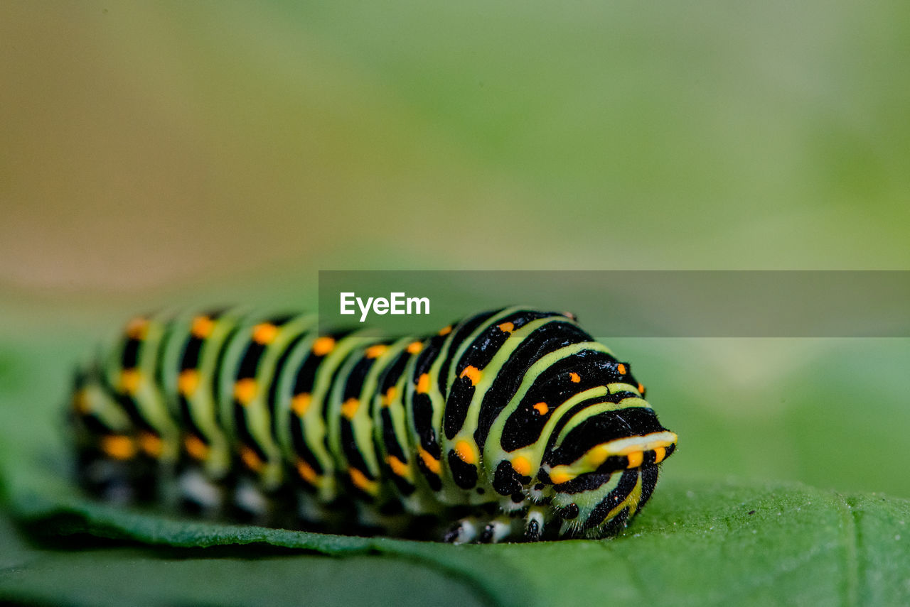 close-up, caterpillar, one animal, insect, animal, animal themes, animals in the wild, green color, animal wildlife, invertebrate, selective focus, animal markings, nature, no people, focus on foreground, beauty in nature, day, natural pattern, yellow, outdoors