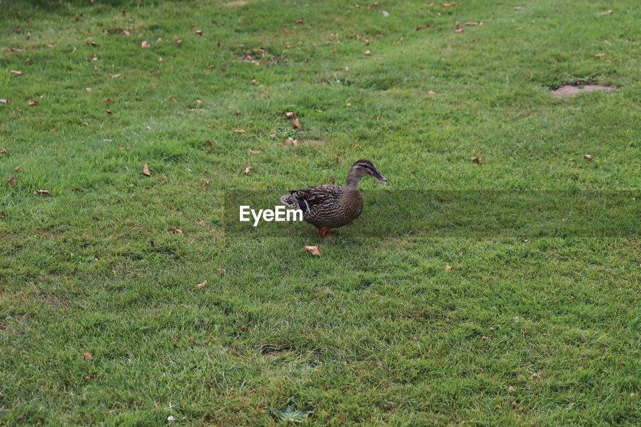 bird, animal themes, grass, animals in the wild, animal wildlife, animal, vertebrate, plant, green color, one animal, field, land, nature, no people, day, high angle view, outdoors, growth, poultry, duck