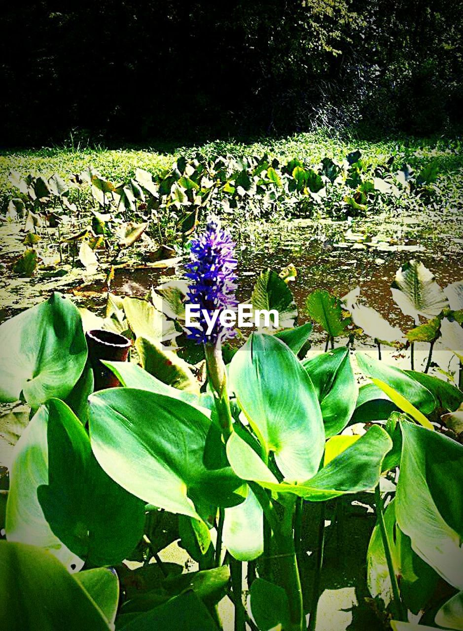leaf, flower, growth, nature, purple, beauty in nature, plant, freshness, green color, outdoors, blooming, fragility, no people, day, close-up