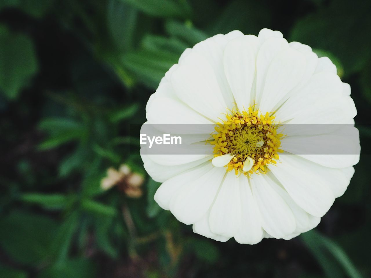 flower, petal, nature, flower head, beauty in nature, fragility, white color, freshness, plant, growth, yellow, blooming, focus on foreground, no people, outdoors, close-up, day