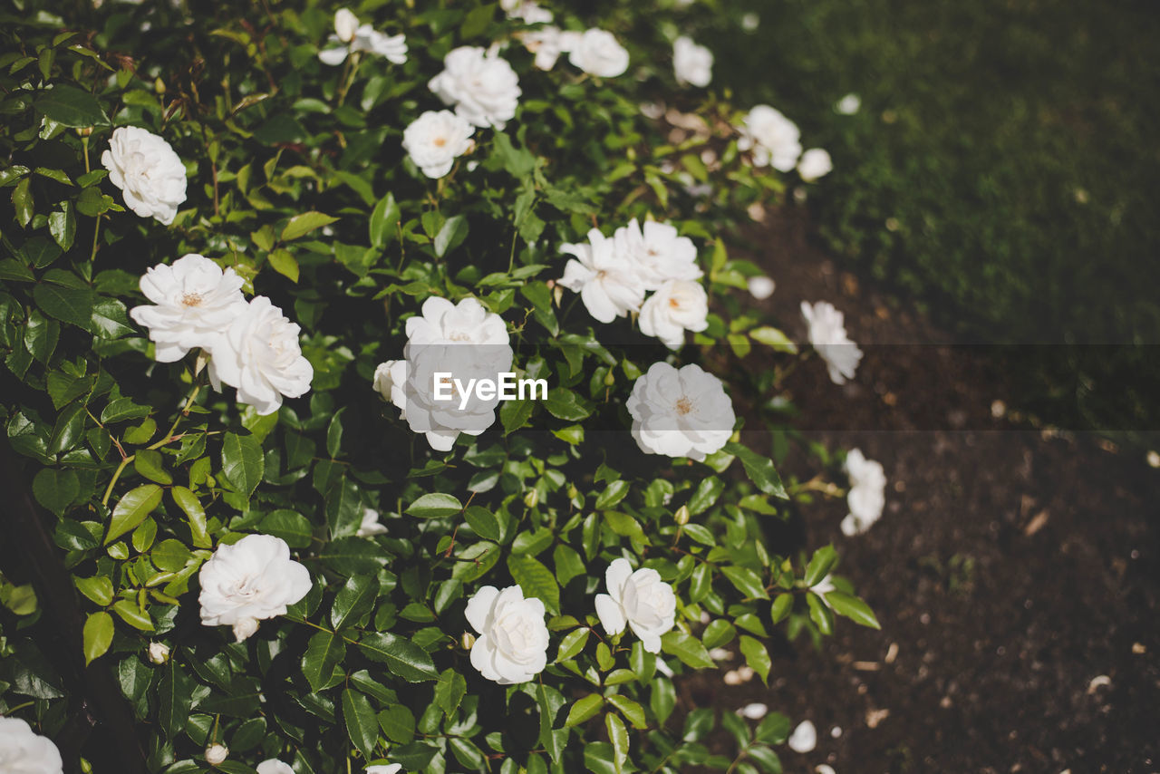 flower, nature, white color, beauty in nature, freshness, fragility, growth, no people, petal, plant, spring, summer, day, outdoors, flower head, blooming, grass, close-up