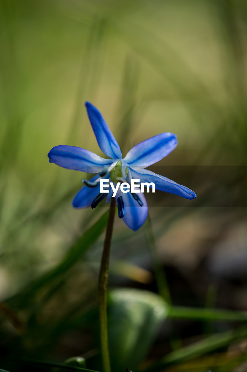 flowering plant, plant, flower, vulnerability, fragility, beauty in nature, freshness, petal, close-up, flower head, inflorescence, growth, blue, nature, focus on foreground, no people, purple, day, selective focus, outdoors
