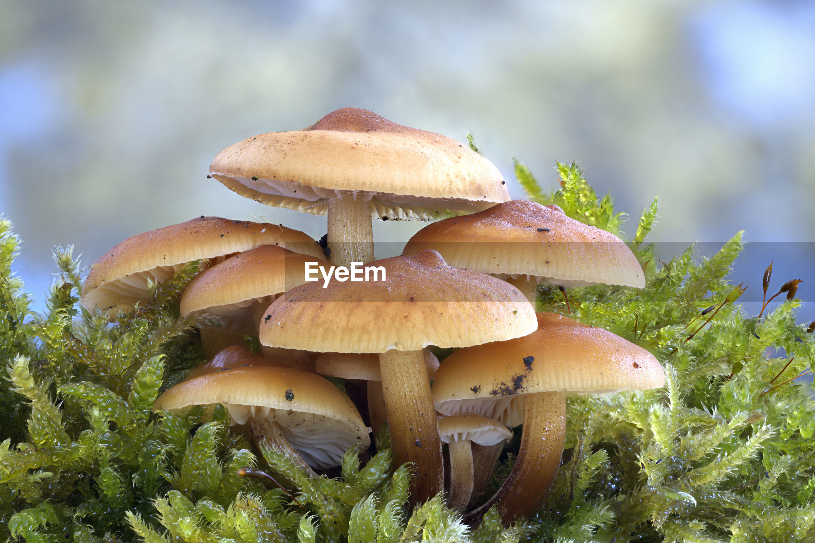 CLOSE-UP OF MUSHROOM GROWING IN FIELD