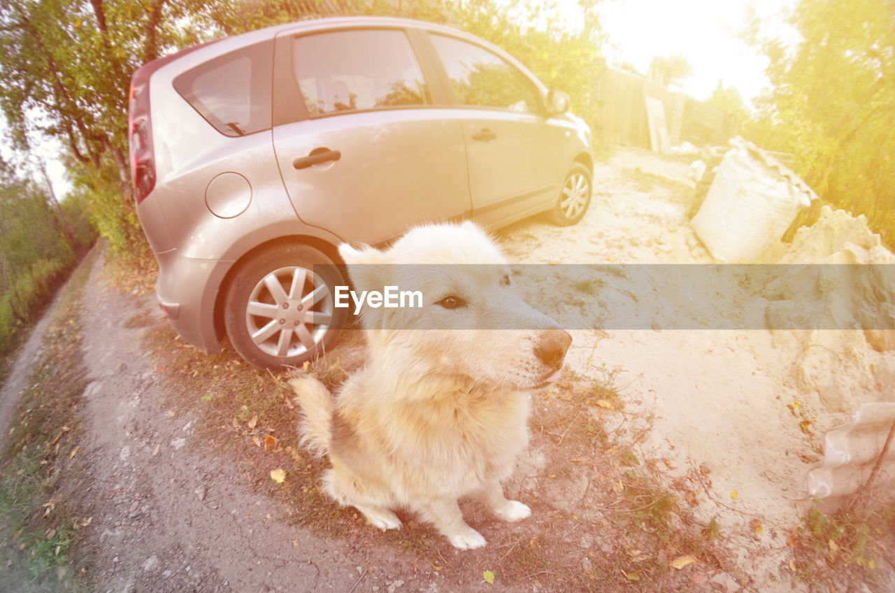 mammal, animal themes, car, motor vehicle, animal, one animal, domestic animals, pets, transportation, domestic, mode of transportation, land vehicle, dog, canine, vertebrate, day, road, nature, sunlight, street, outdoors, wheel