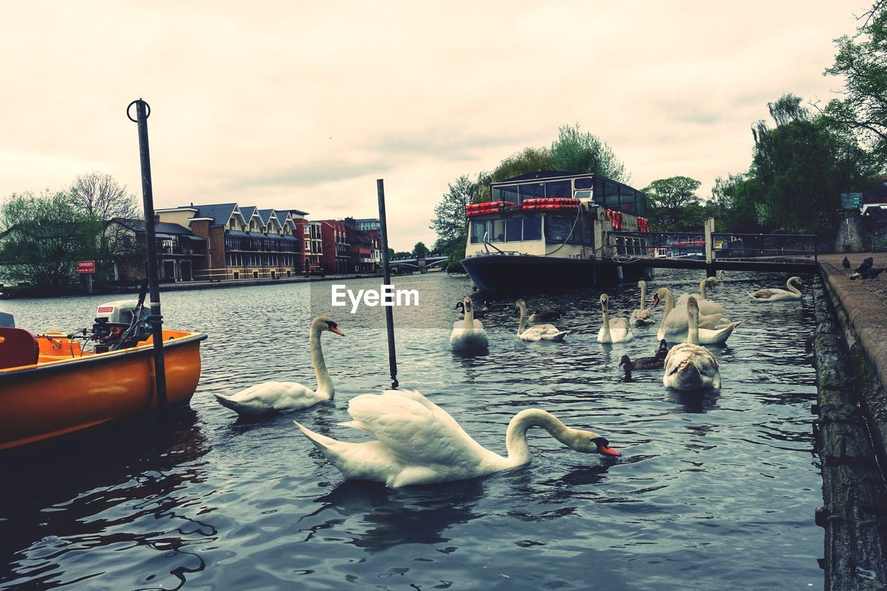 water, bird, animal themes, swan, animal, animals in the wild, animal wildlife, vertebrate, nautical vessel, group of animals, transportation, nature, architecture, sky, swimming, built structure, day, mode of transportation, waterfront, no people, outdoors, floating on water, canal, cygnet