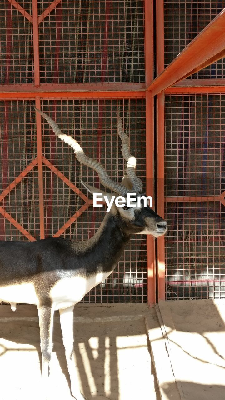 animal themes, one animal, deer, animals in captivity, mammal, indoors, animal head, antler, cage, no people, taxidermy, animals in the wild, animal wildlife, stag, domestic animals, illuminated, day, nature
