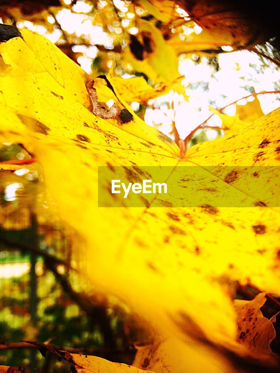 leaf, yellow, nature, selective focus, change, beauty in nature, autumn, outdoors, close-up, no people, growth, fragility, day, tree, maple, freshness