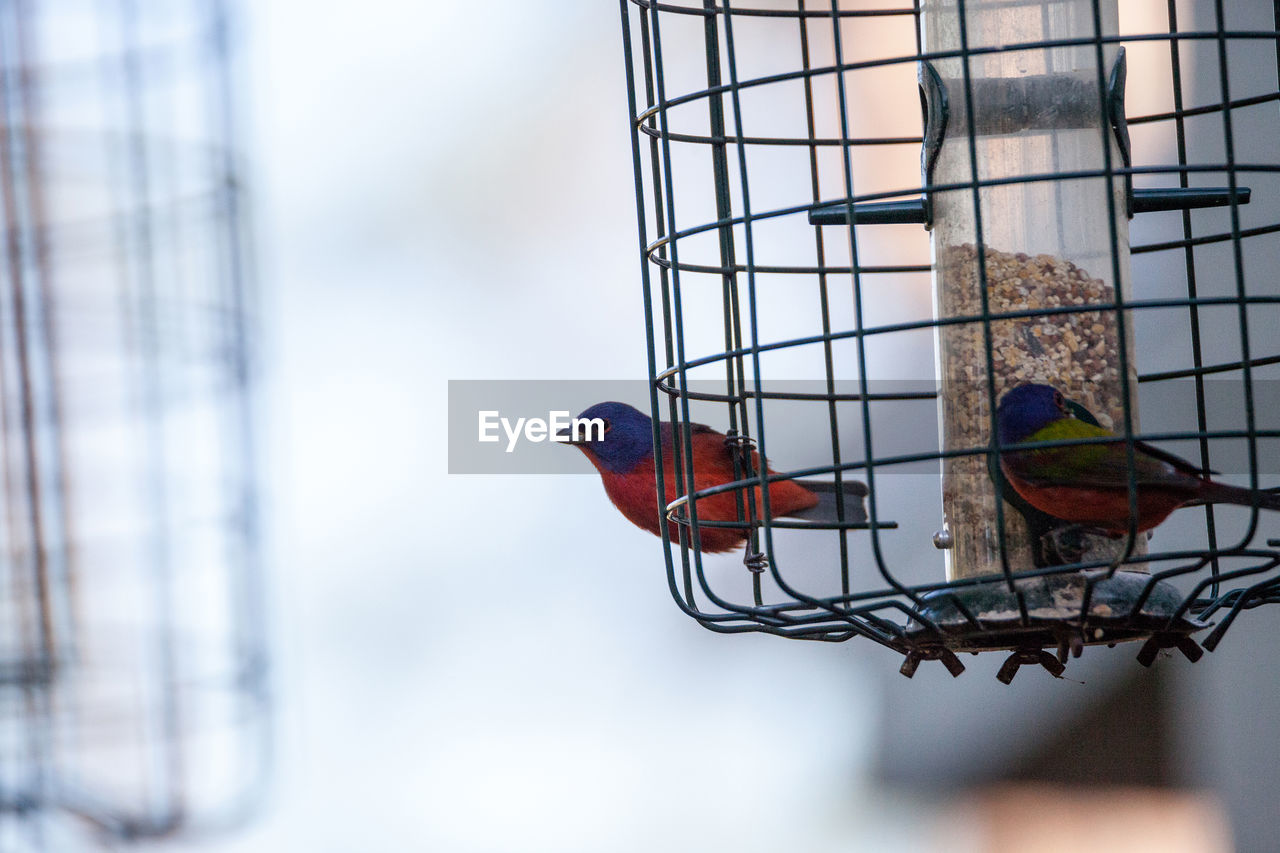 bird, vertebrate, animal, animal themes, perching, focus on foreground, animal wildlife, group of animals, day, two animals, animals in the wild, no people, parrot, bird feeder, nature, outdoors, close-up, cage, selective focus