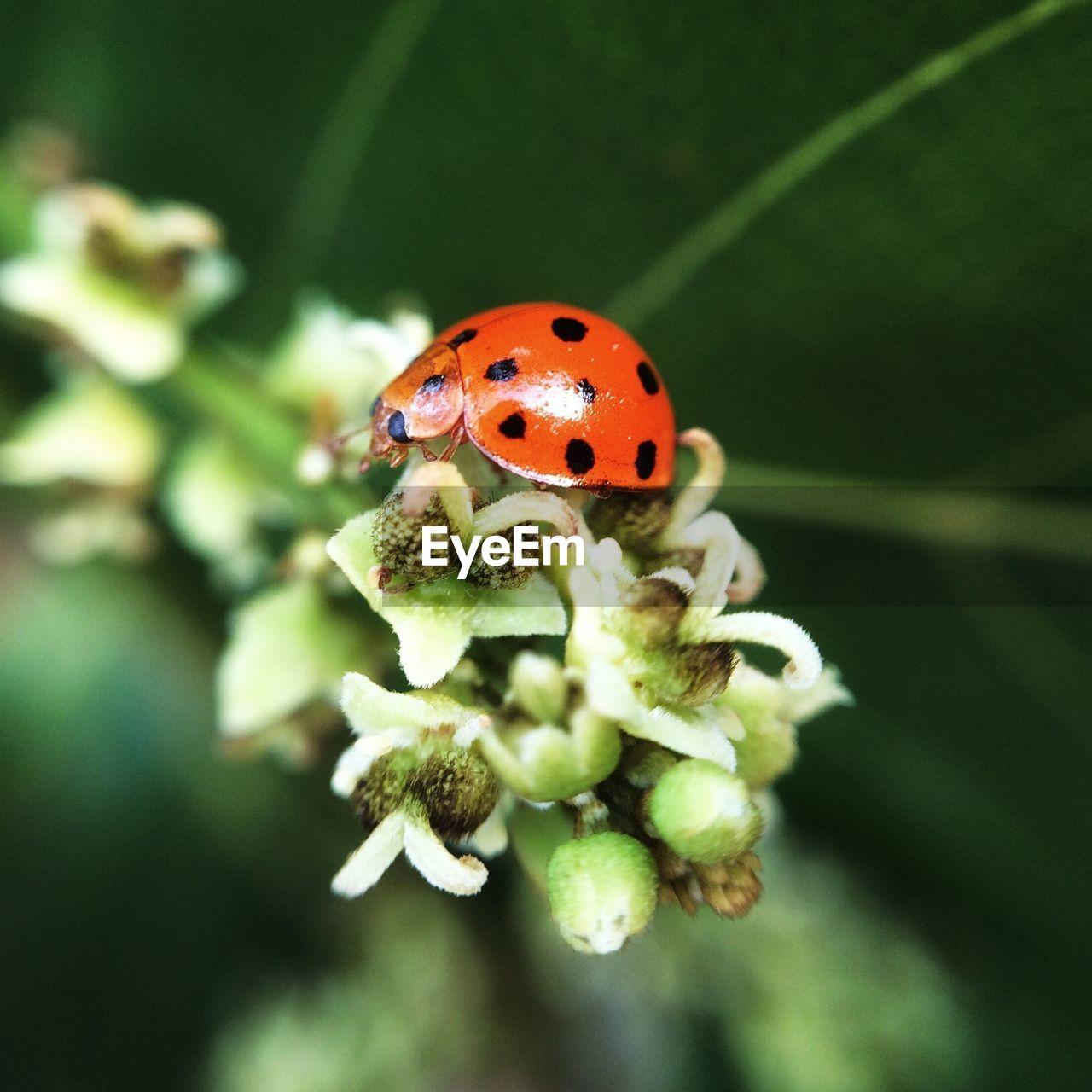 Close-up of ladybug on flowers