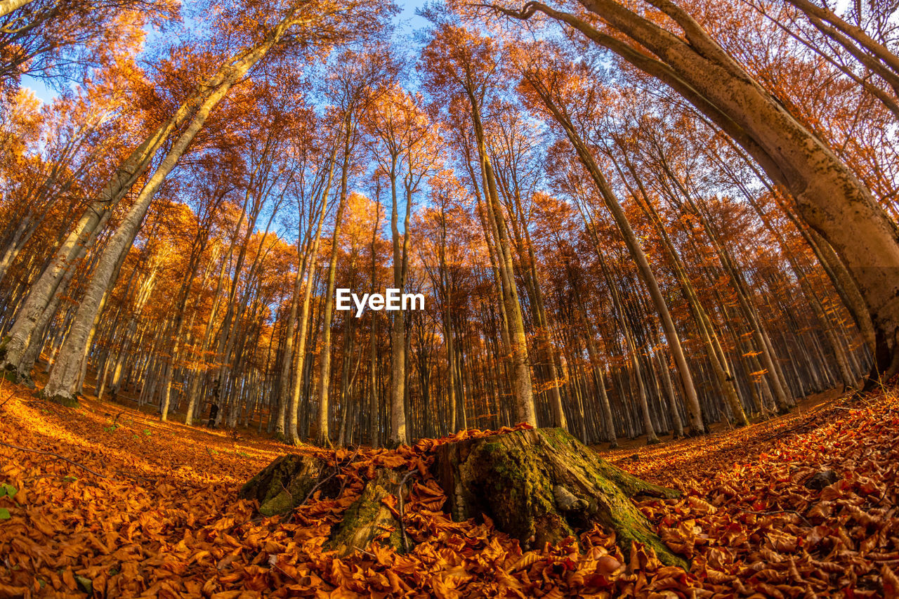 Low angle view of pine trees in forest during autumn