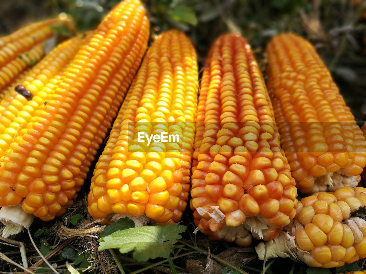Close-Up Of Fresh Corns
