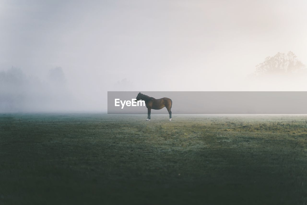 Side view of horse standing on field against fog